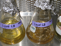 Liquid broth for lysis miniprep
